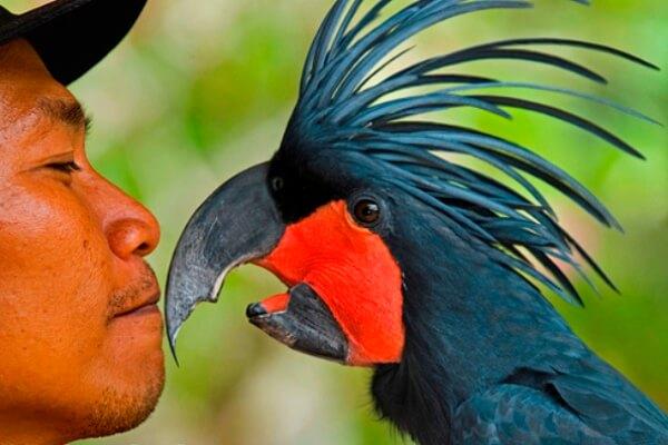 comportamiento cacatúa negra