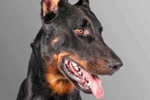 aspecto físico beauceron