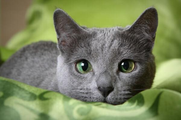 gato azul ruso cuidados