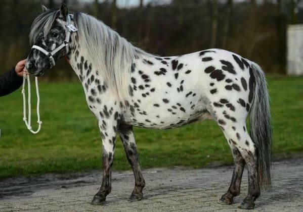raza de pony falabella
