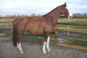 raza de caballo Gelderlander