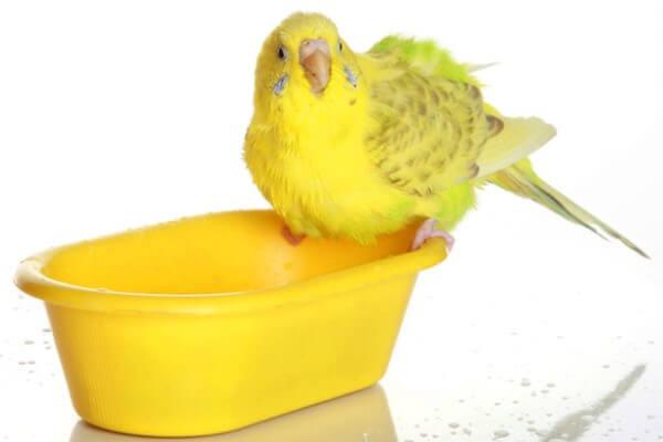 Higiene y limpieza de los periquitos