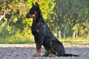 origen raza de perro beauceron