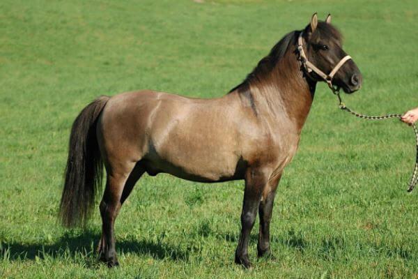 raza de caballo poni Huzule