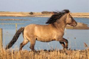 raza de poni Konik