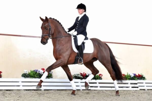 raza de caballo Brandenburgo y Mecklemburgo