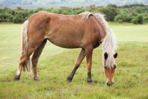 raza de caballo new forest