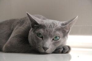 origines gato azul ruso