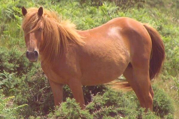 raza de caballo pottok