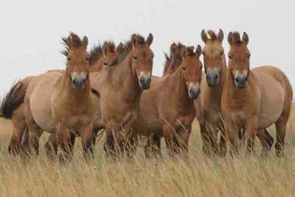 raza de caballo Caballo de Przewalski