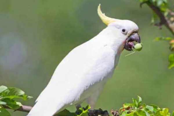 alimentos prohibidos cacatúas
