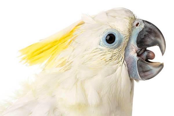 qué comen las cacatúas blancas
