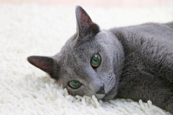 enfermedades gato azul ruso