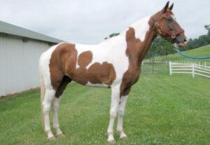 raza de caballo Spotted Saddle Horse
