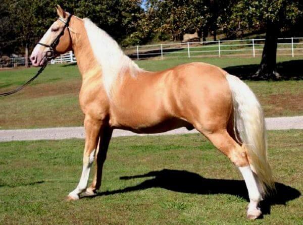 raza de caballo Tennessee Walker