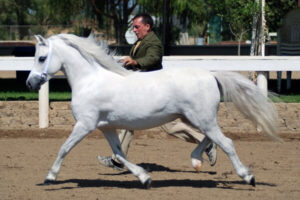 raza de ponis welsh
