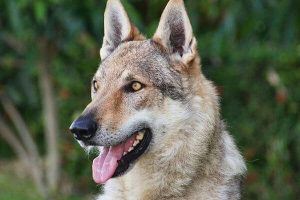perro lobo checoslovaco tamaño