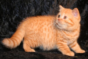 gato británico de pelo corto tabby mackerel rojo