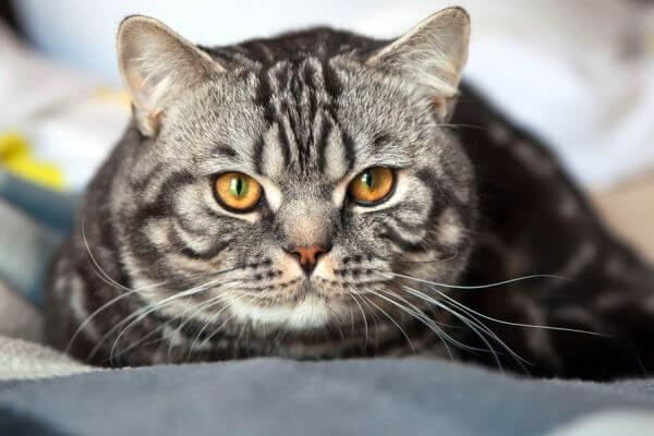 gato británico de pelo corto carey