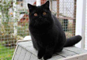 gato británico de pelo corto negro