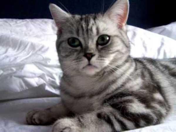 gato británico de pelo corto color plateado