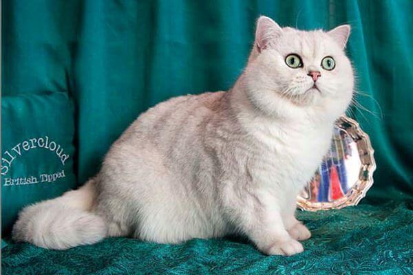 gato británico de pelo corto tipped
