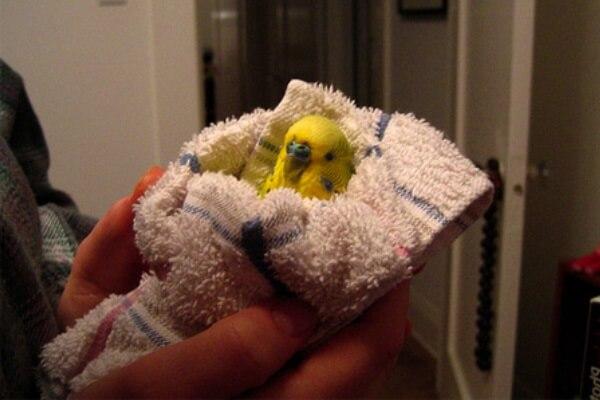 Como Hago para curar a un periquito australiano