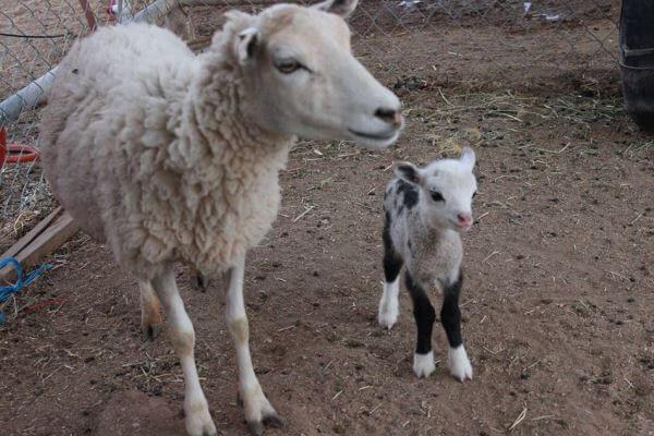 cría de oveja y su madre