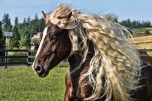 características caballo black forest