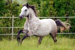 raza de caballo Connemara