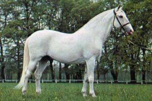 características caballo Kladruber