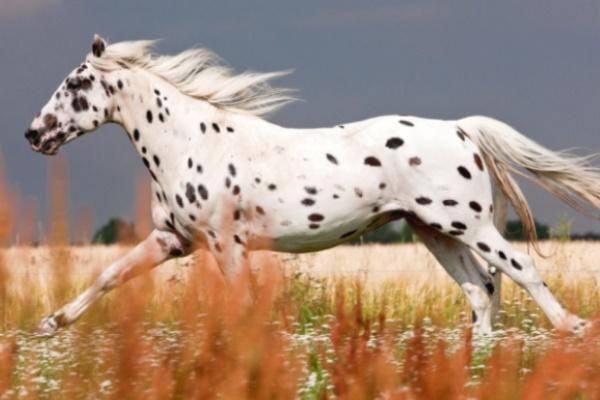 características caballo Knabstrupper
