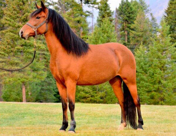 raza de caballo Paso Fino