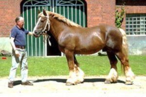 características caballo Schleswig