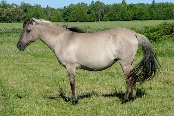 raza de poni Sorraia