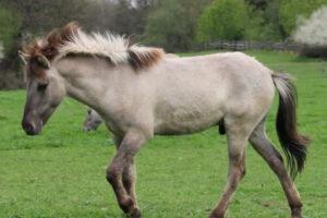 raza de caballo Sorraia