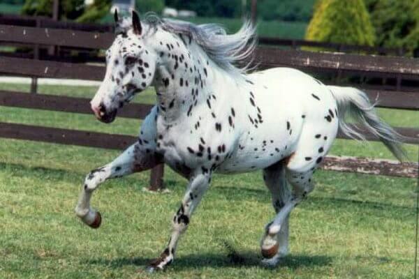 características caballo appaloosa