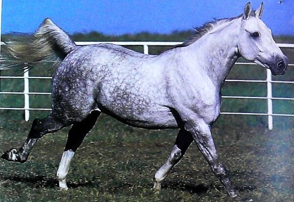 raza caballo belga sangre caliente