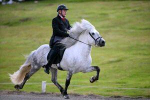 raza de caballo islandés