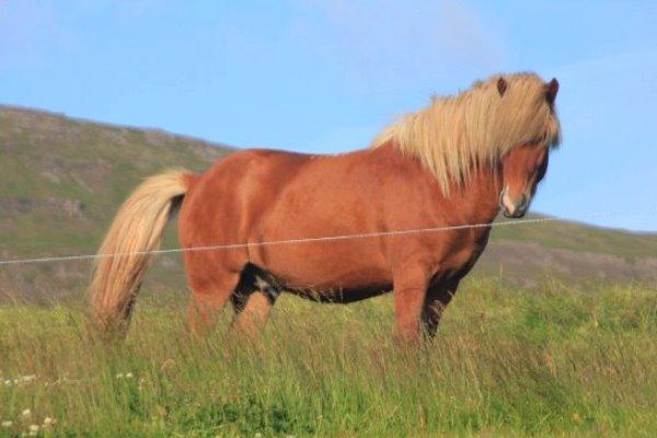 características raza de caballo nórdico