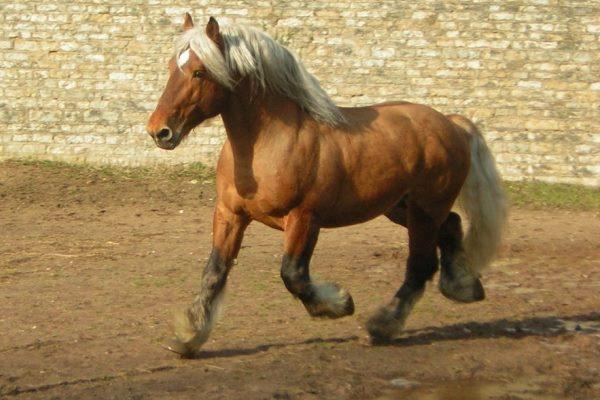 características caballo percherón