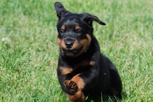comprar cachorro beauceron