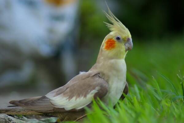 descripción cacatúa ninfa