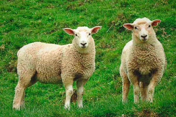 cómo es la oveja