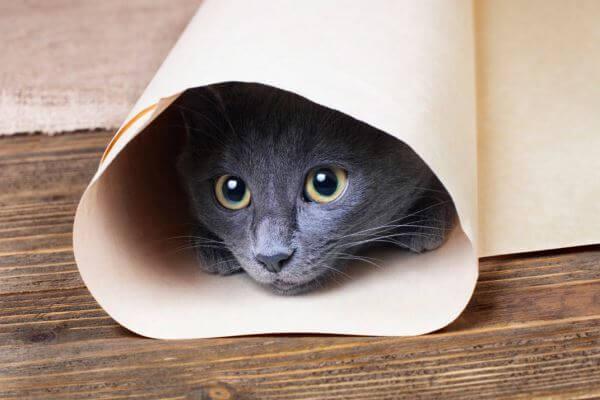 actitud gato azul ruso