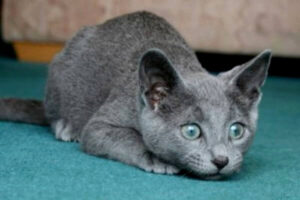 gato azul ruso gratis