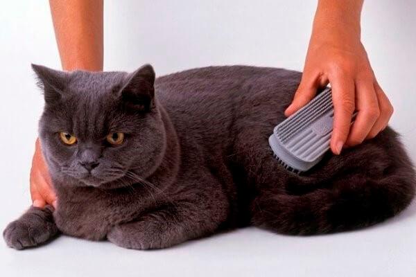 cómo cuidar gato british shorthair