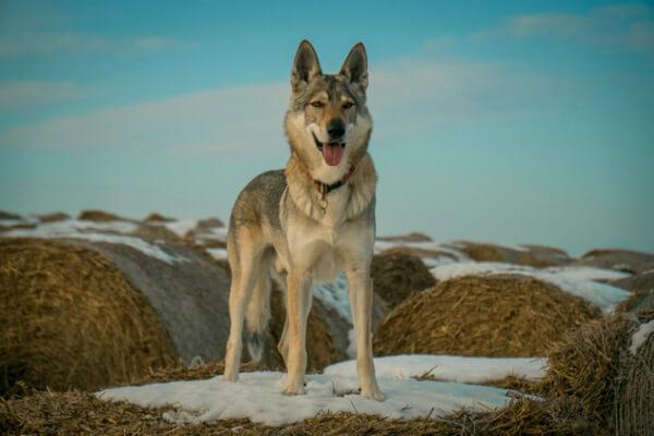 perro lobo checo características