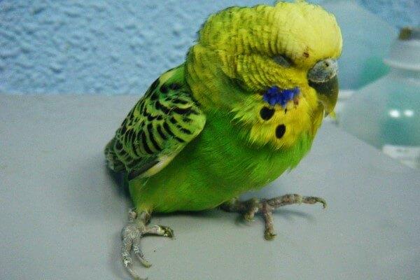 Cómo curar a un pájaro herido