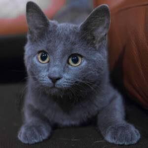 anatomía gato azul ruso